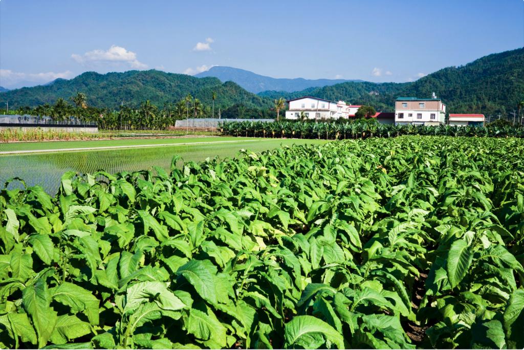 Lush tobacco field